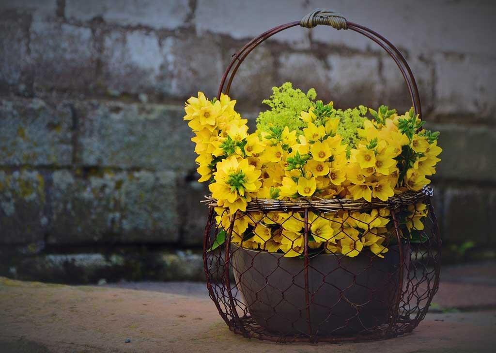 fiori gialli in vaso