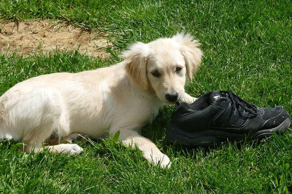 cane gioco scarpa