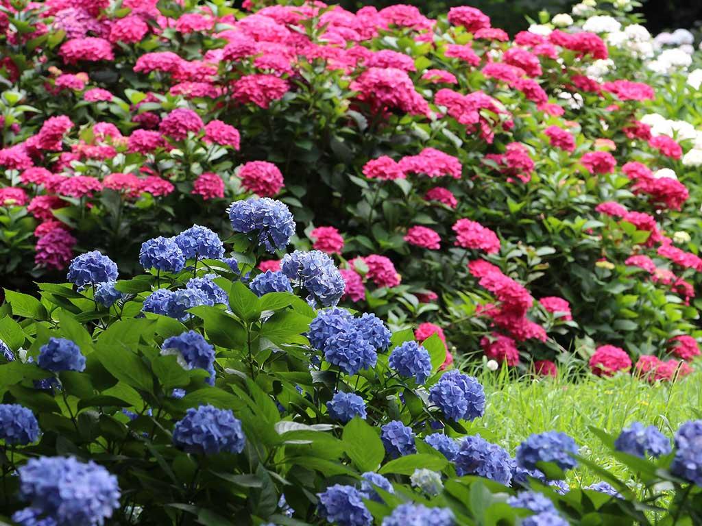 veduta di ortensie in fiore di vari colori