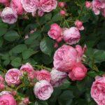 pianta rose fiorite