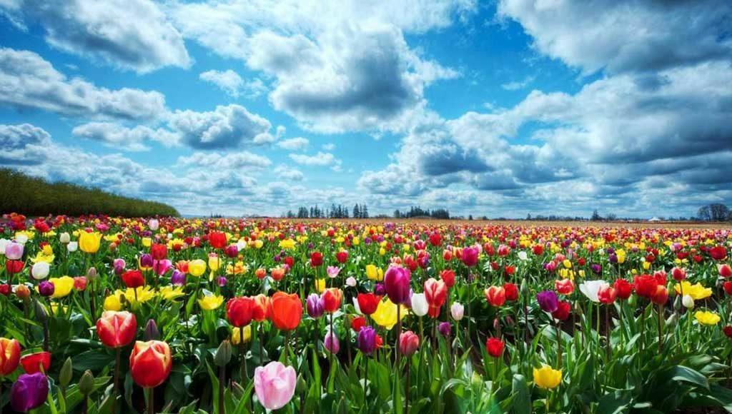 campo di tulipani colorati