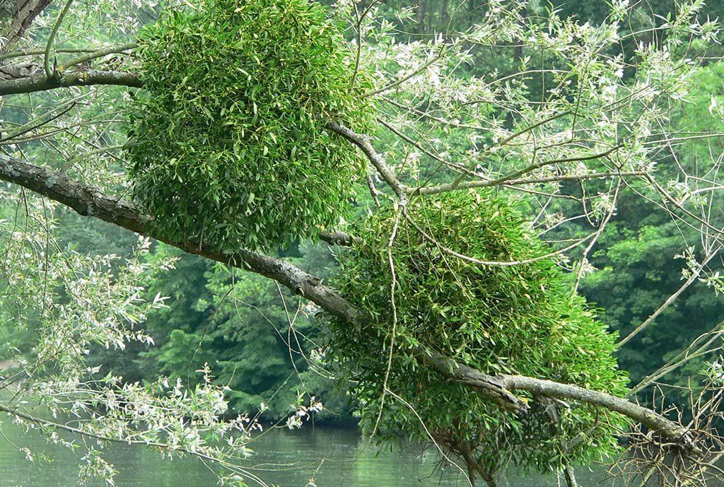 piante di vischio verdi