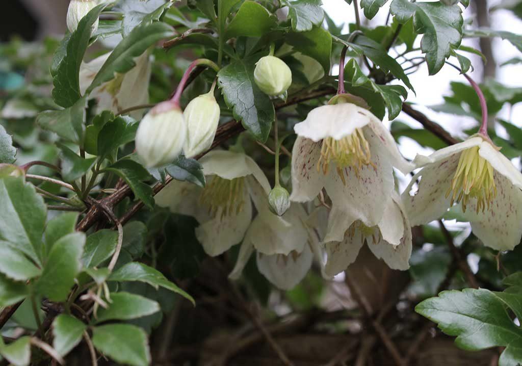 clematis fiorito