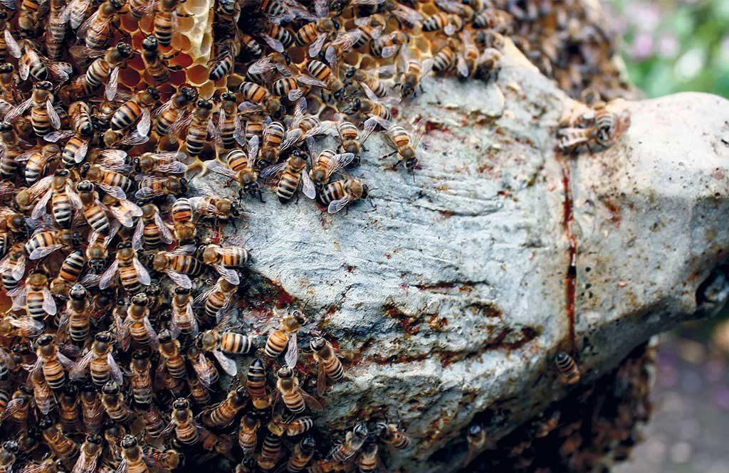 api miele sciame