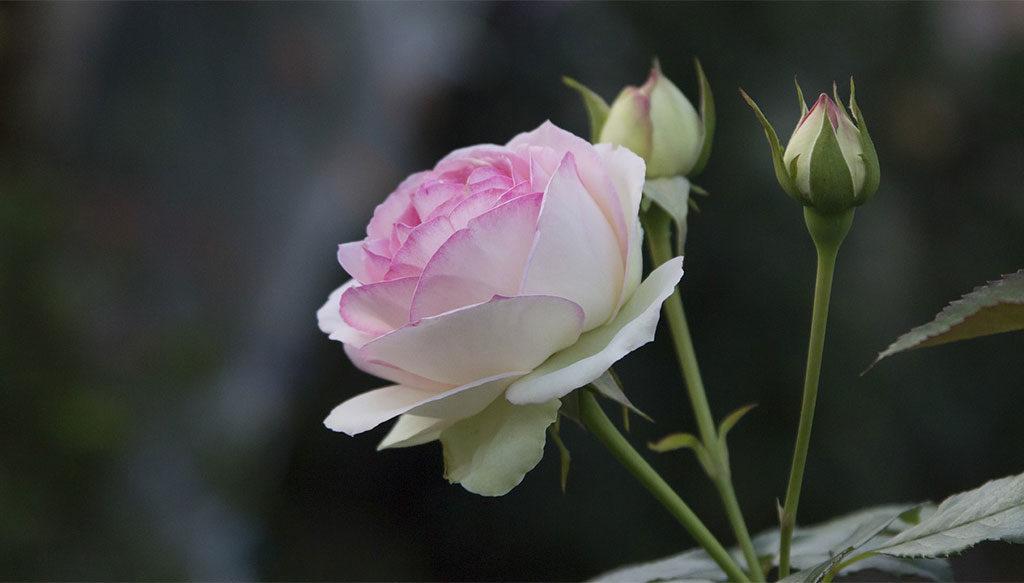 rosa fiorita aperta