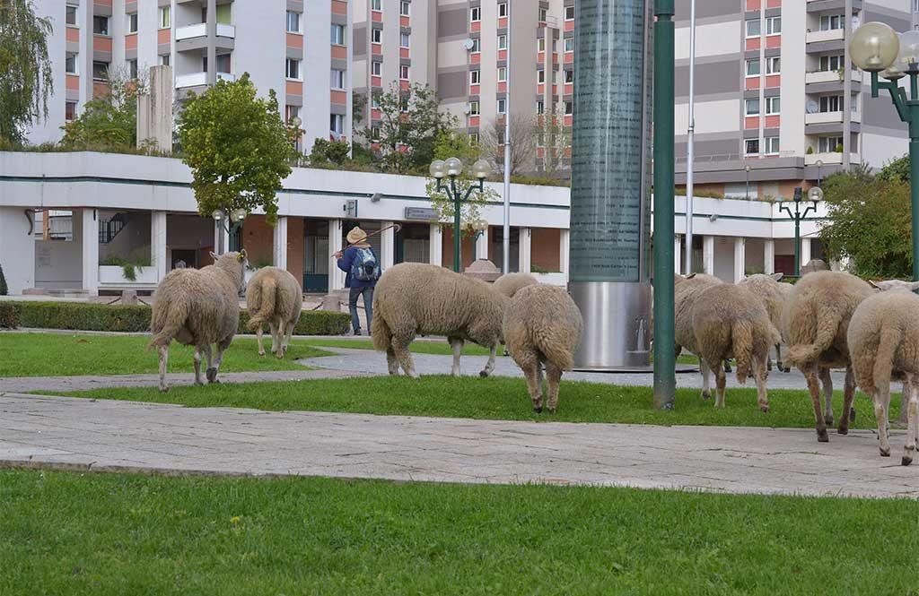 transumanza pecore citta