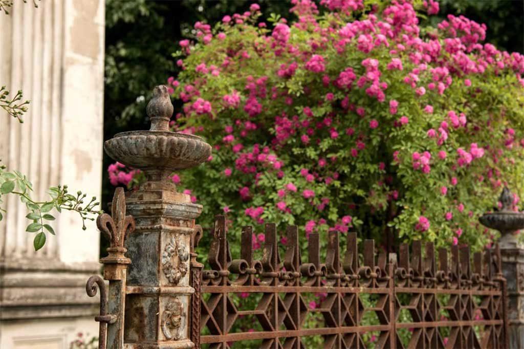 bouganville fiorita