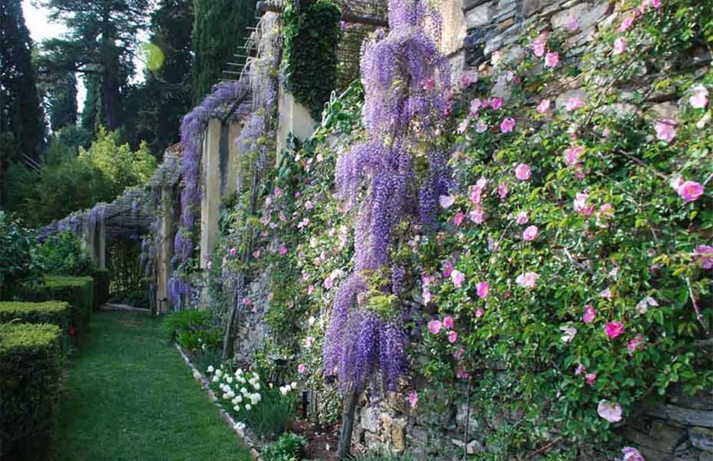 glicine in fiore parete