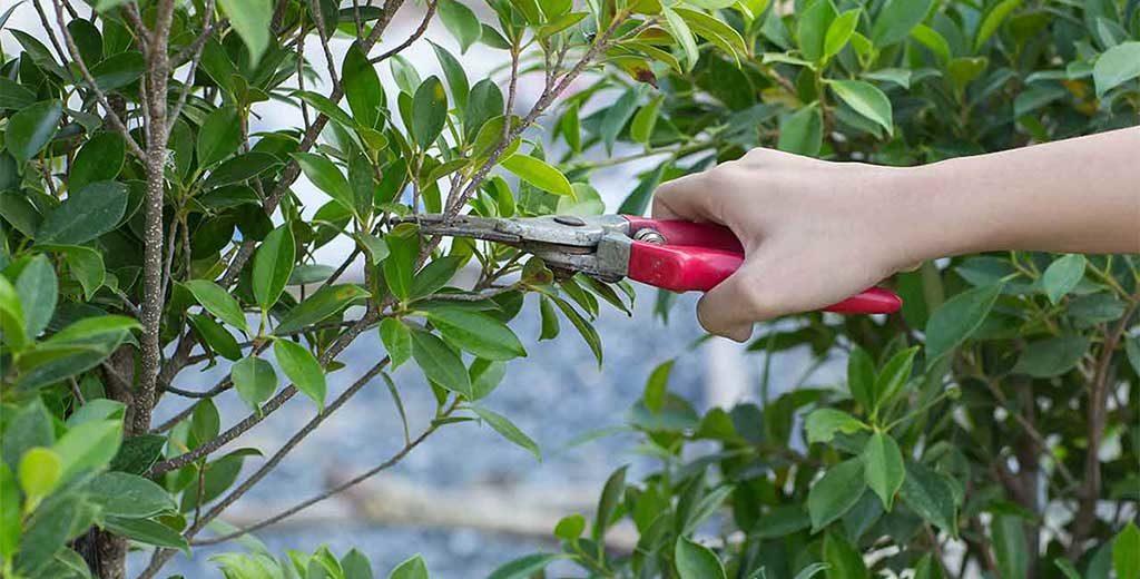 potatura pianta forbici