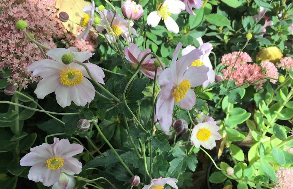 fiori trifolia