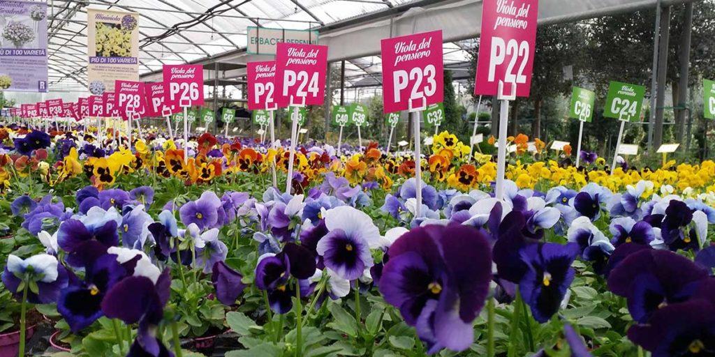 viole violette vivaio colore