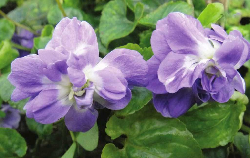 violetta duchessa di parma