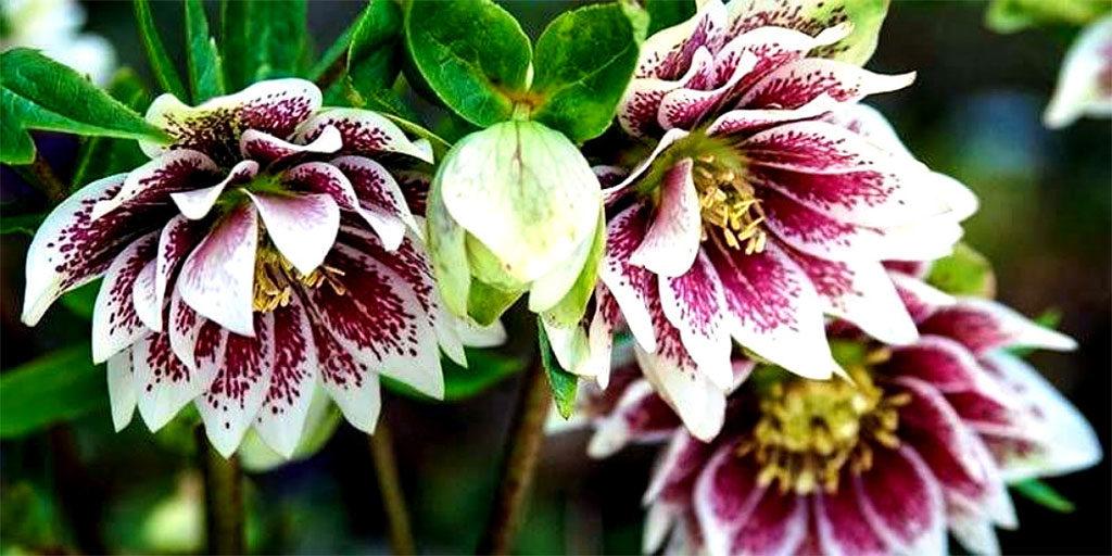 fiori bianco fucsia