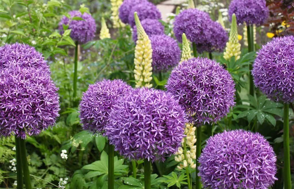 fioritura fiori viola