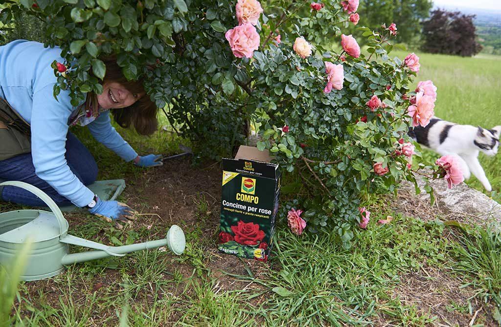 concimare le rose in giardino