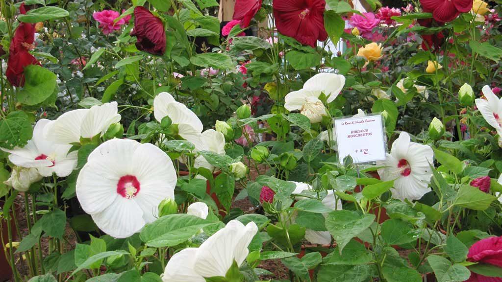 fiori bianchi rossi fucsia