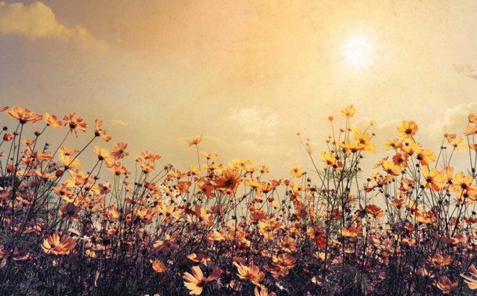 fiori campo tramonto