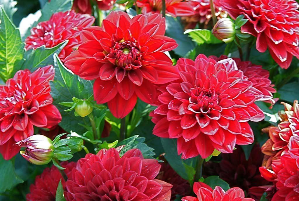 fiori rossi grandi