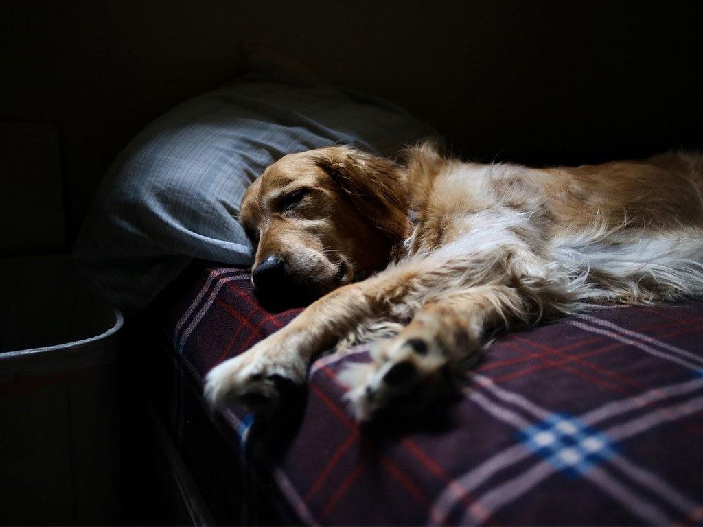 cane dorme letto