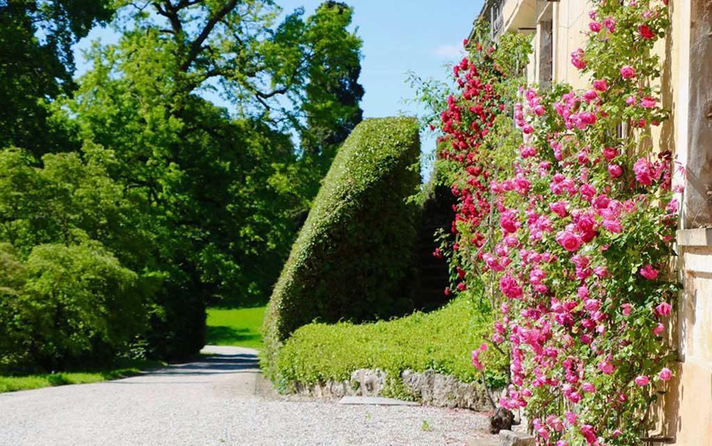 rose rampicanti parete