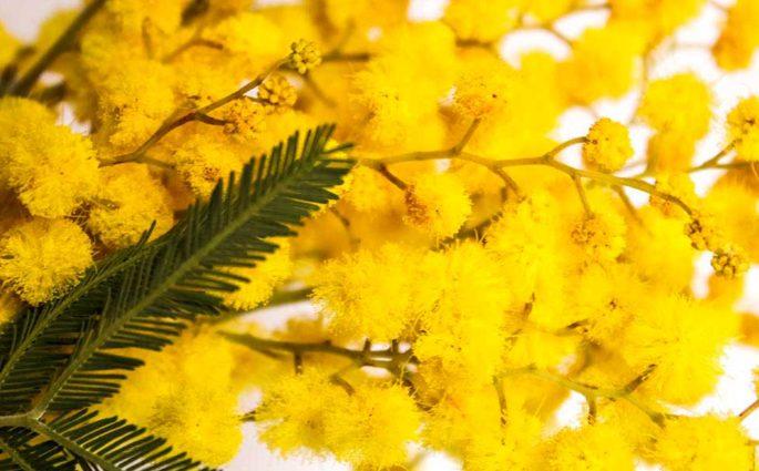mimosa otto marzo