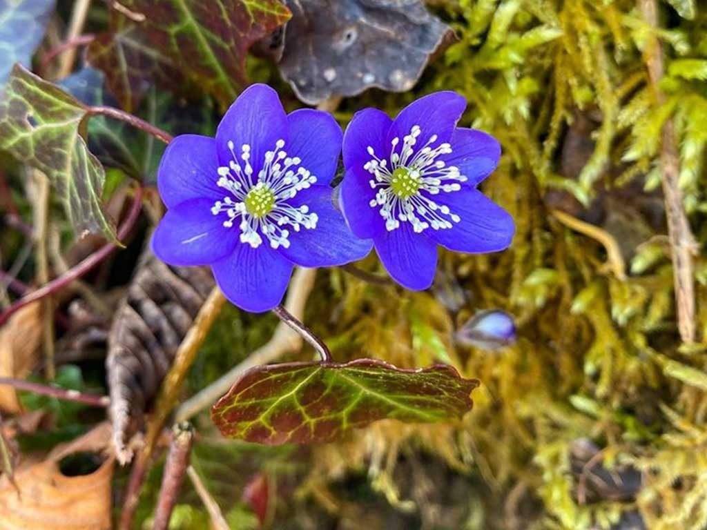 fiori viola primavera