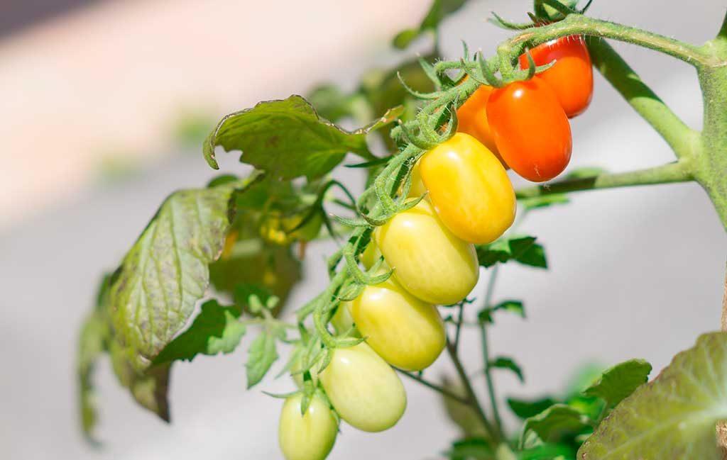 pomodorini grappolo