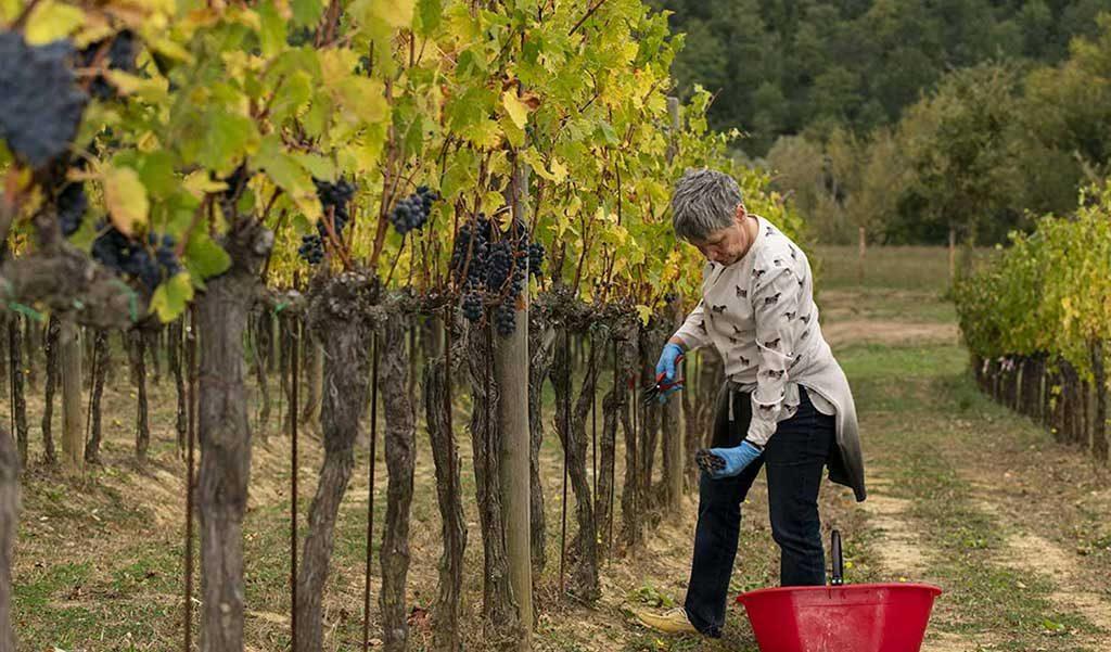 raccolta uva vigne