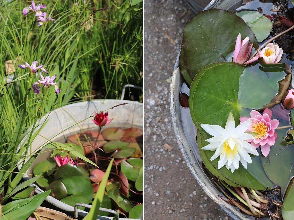 ninfee e fiori di loto