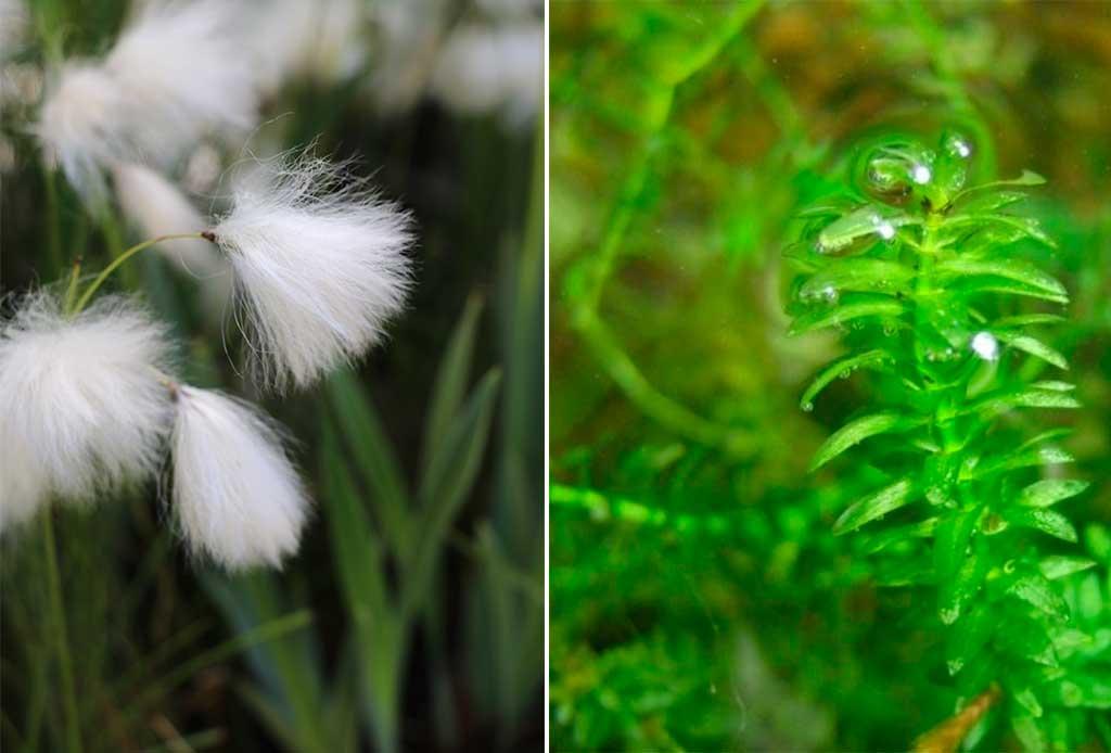 piante acquatiche ossigenanti