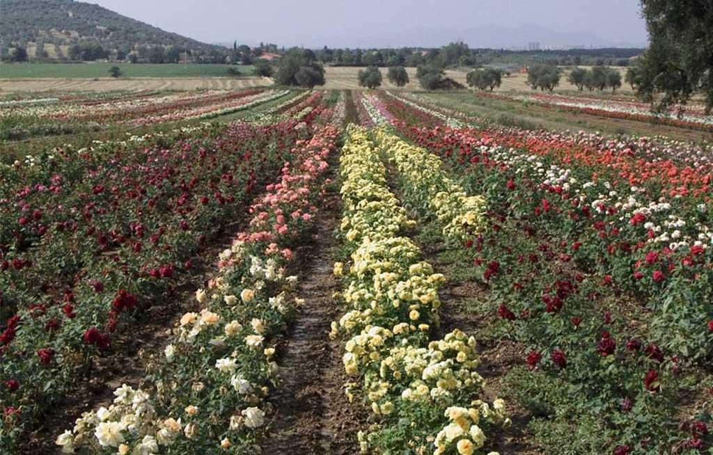 campo coltivato rose