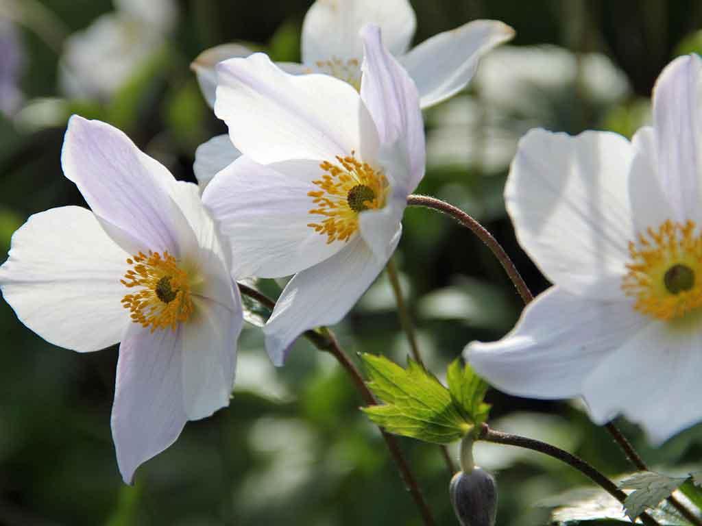 anemone wild swan bianco