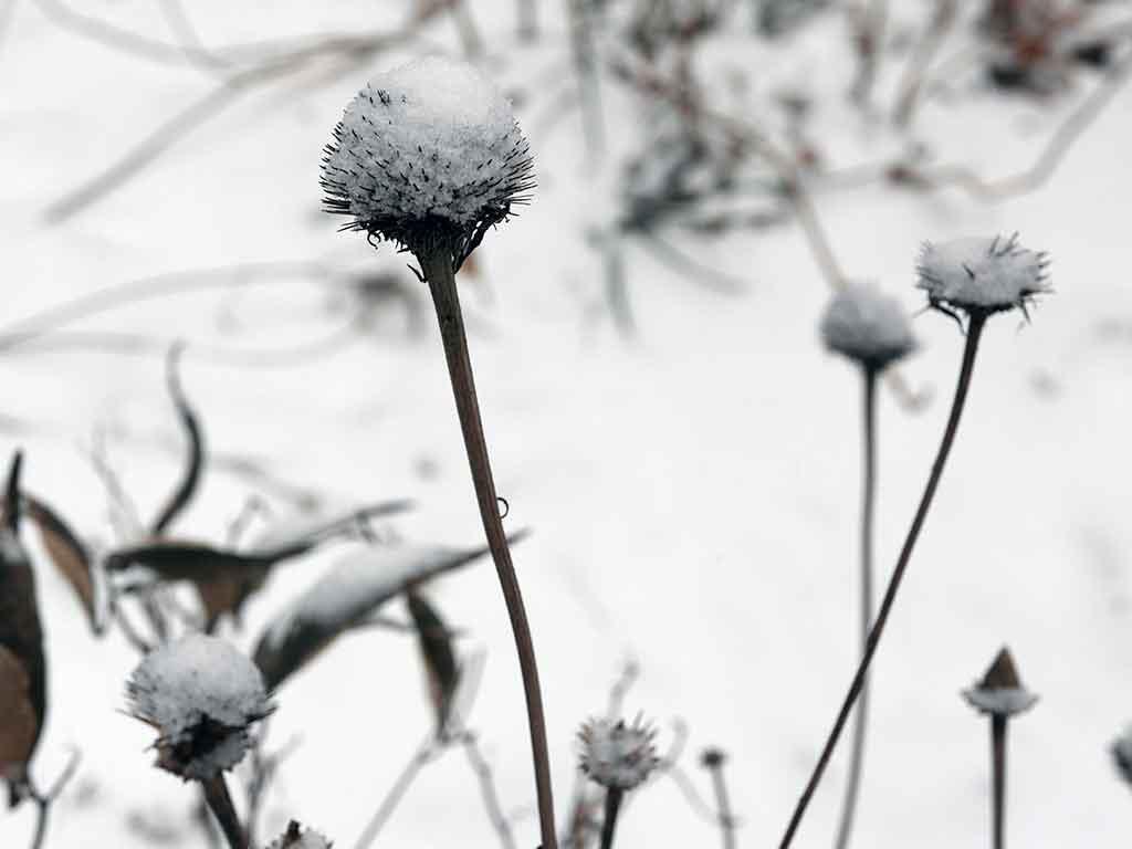 fiori echinacea inverno neve