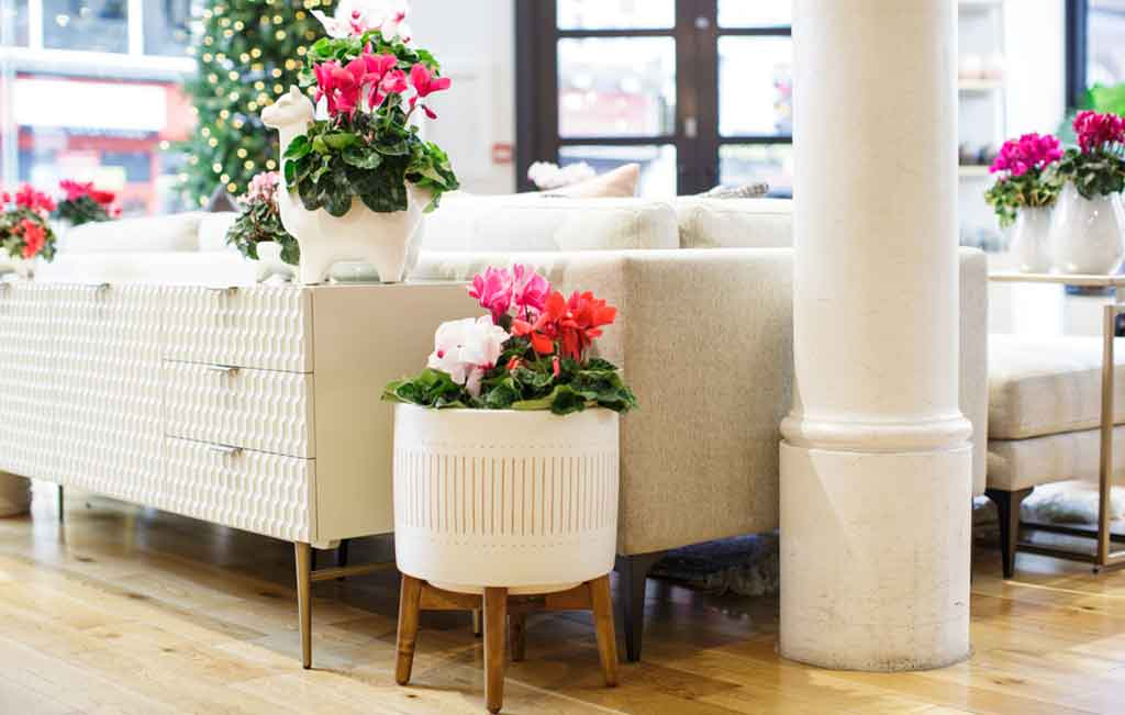 ciclamini vaso bianco casa