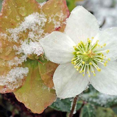fiore bianco neve