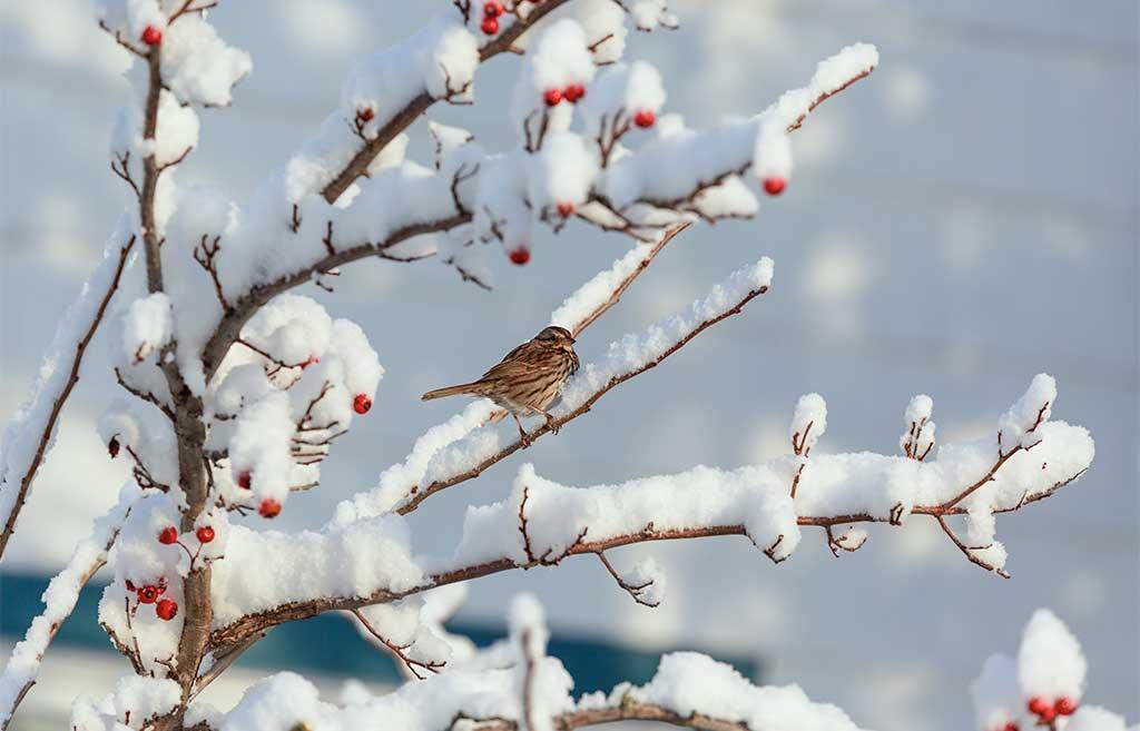 passero bacche biancospino inverno