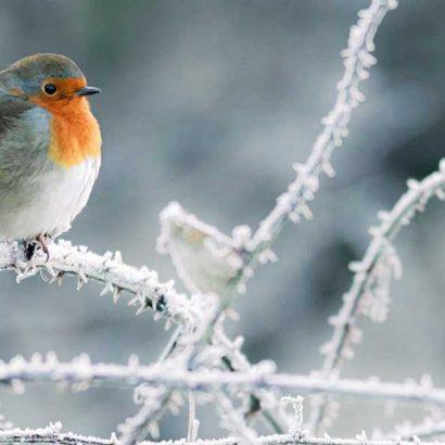 pettirosso ramo gelato inverno