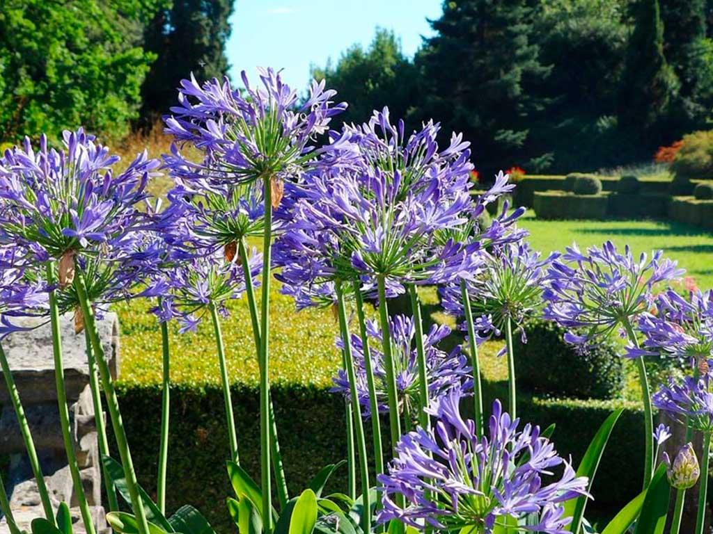 agapanthus giardino