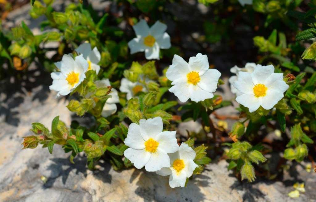 fiori cistus
