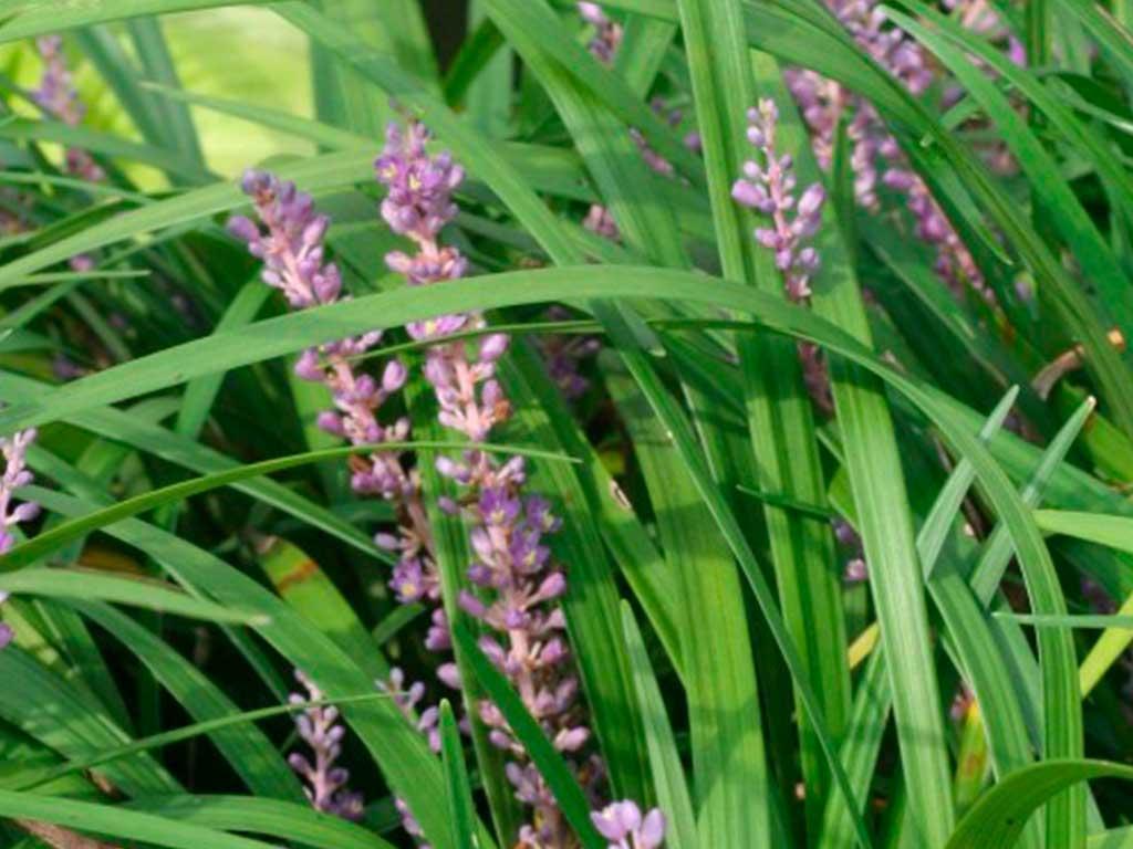 liriope muscari giardino