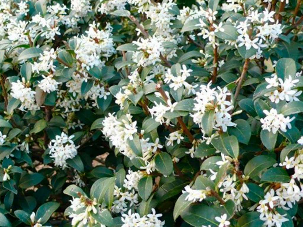 osmarea fiorita