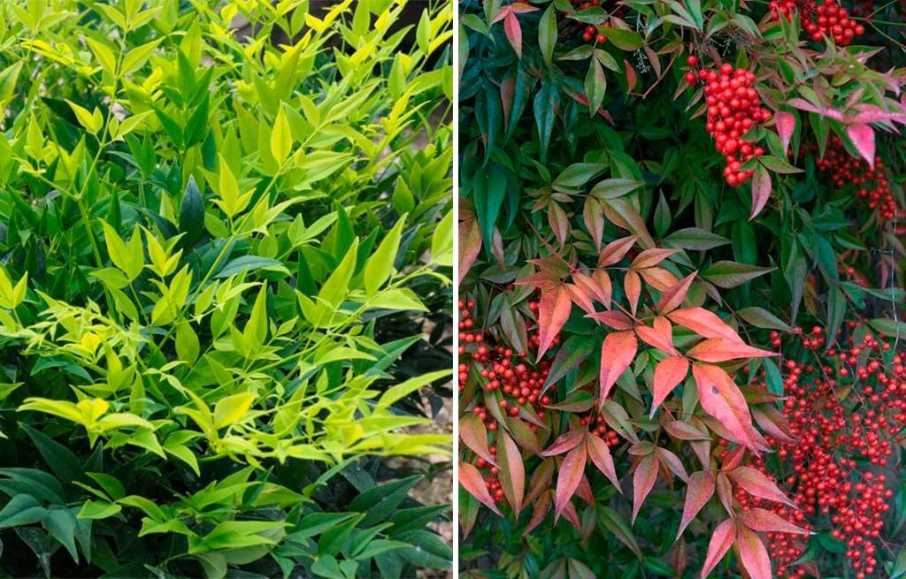piante specie nandina