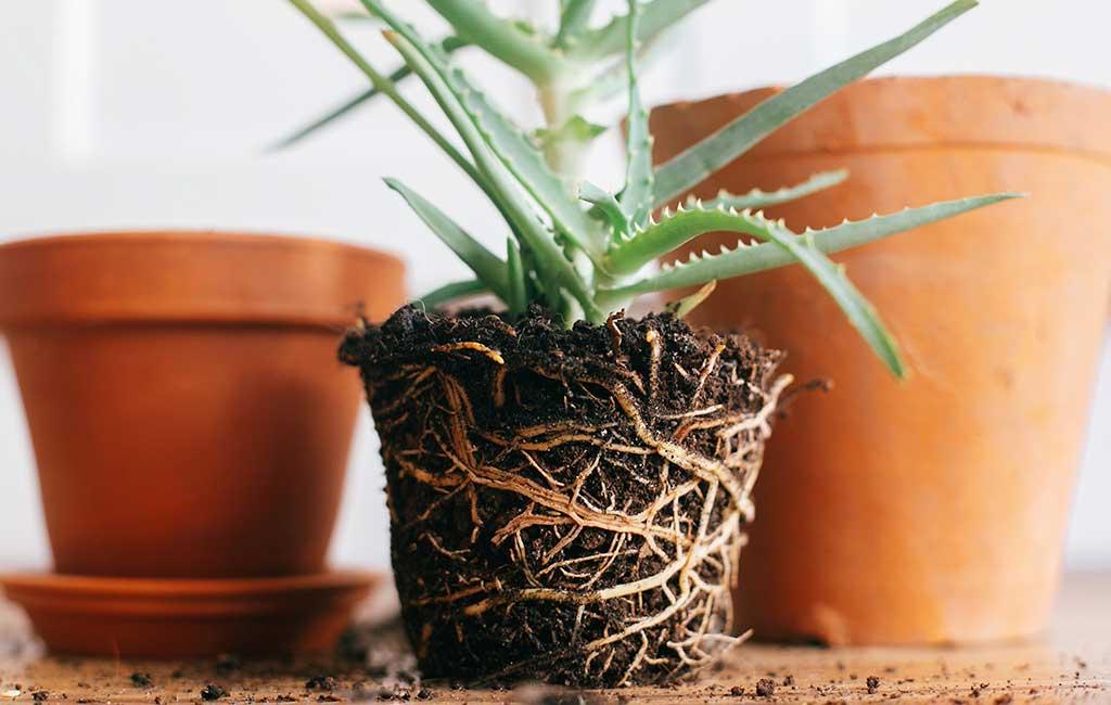 radici pianta terriccio