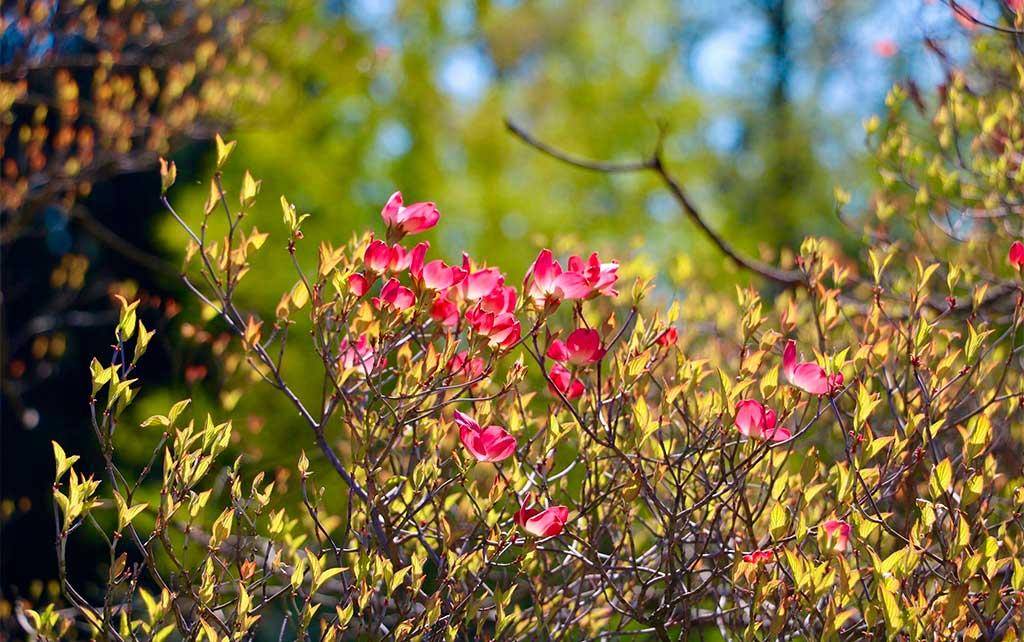 cornus florida fiori