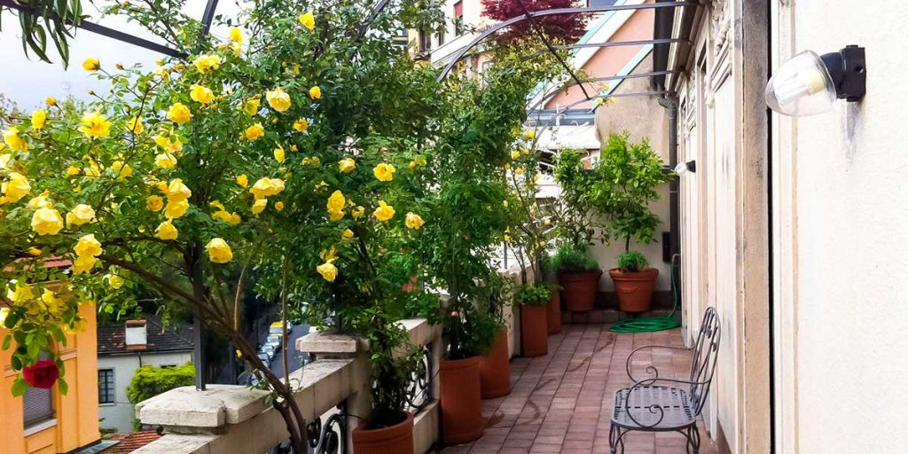 rose rampicanti terrazzo