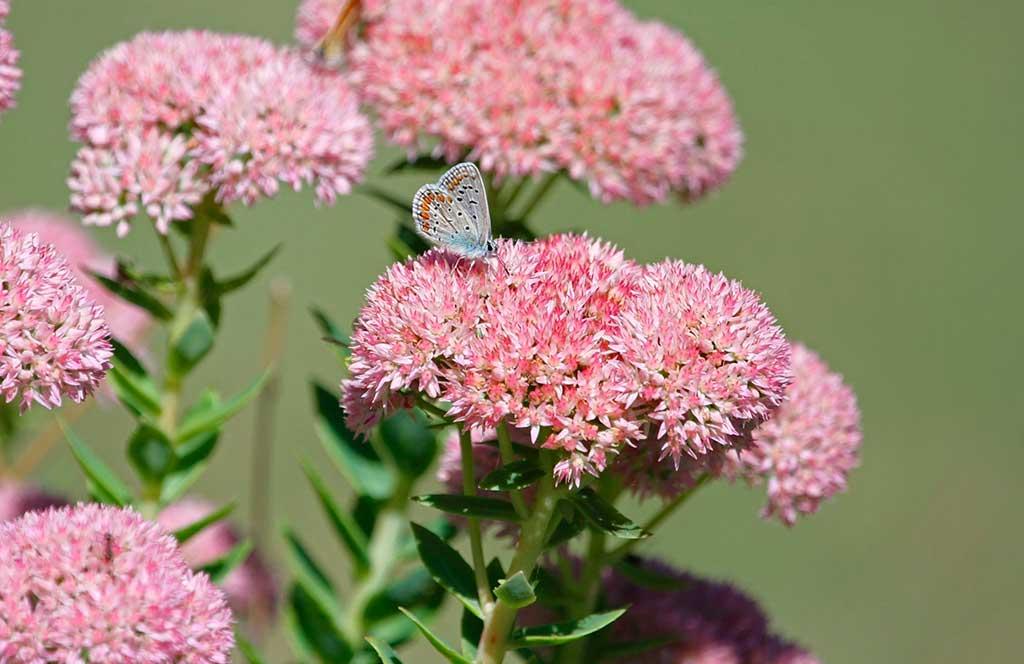 sedum fiore rosa