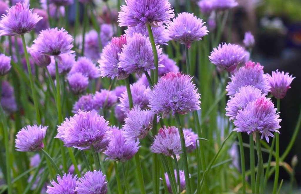 fiori erba cipollina
