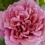 rosa rifiorente