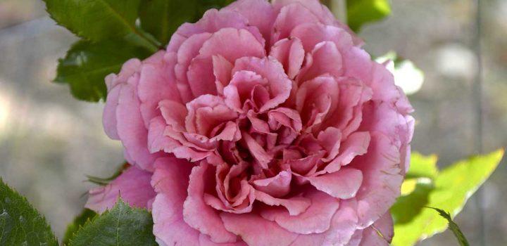 Rose rifiorenti dalla primavera all'autunno